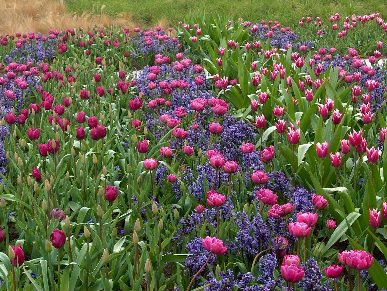 Villa pisani ospita il giardino dei tulipani for Fiori bulbi
